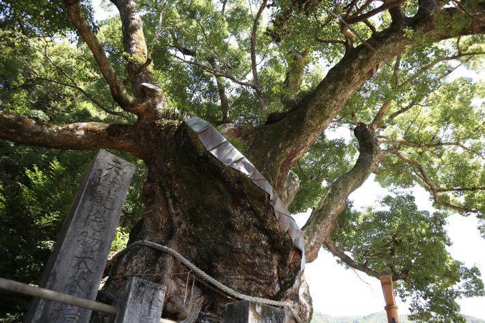 国指定天然記念物 大谷のクスノキ