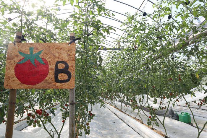 中土佐町 大野見 町田農園 トマト栽培