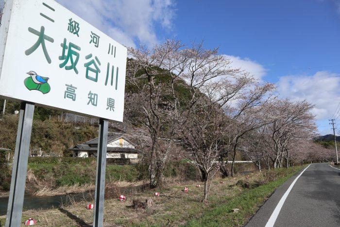 中土佐町 大坂谷川 桜開花