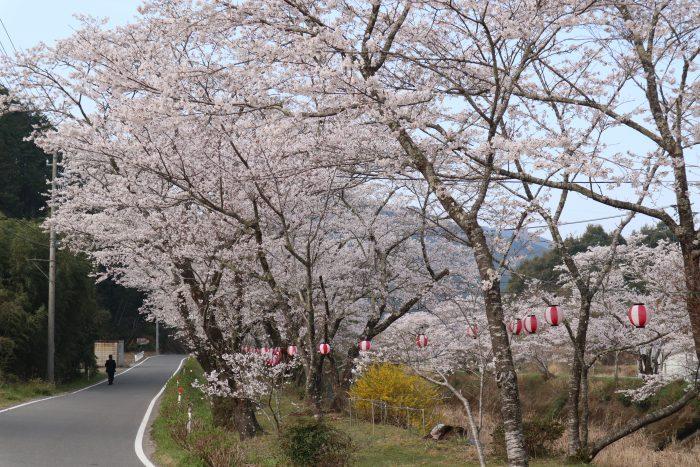 中土佐町 桜開花 大坂谷川