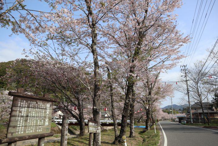 中土佐町 大坂谷川 桜並木