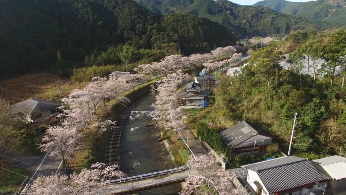 大坂谷川 中土佐町 桜並木